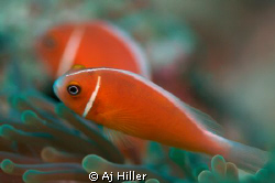 Orange clownfish relax in their anemone surroundings. by Aj Hiller